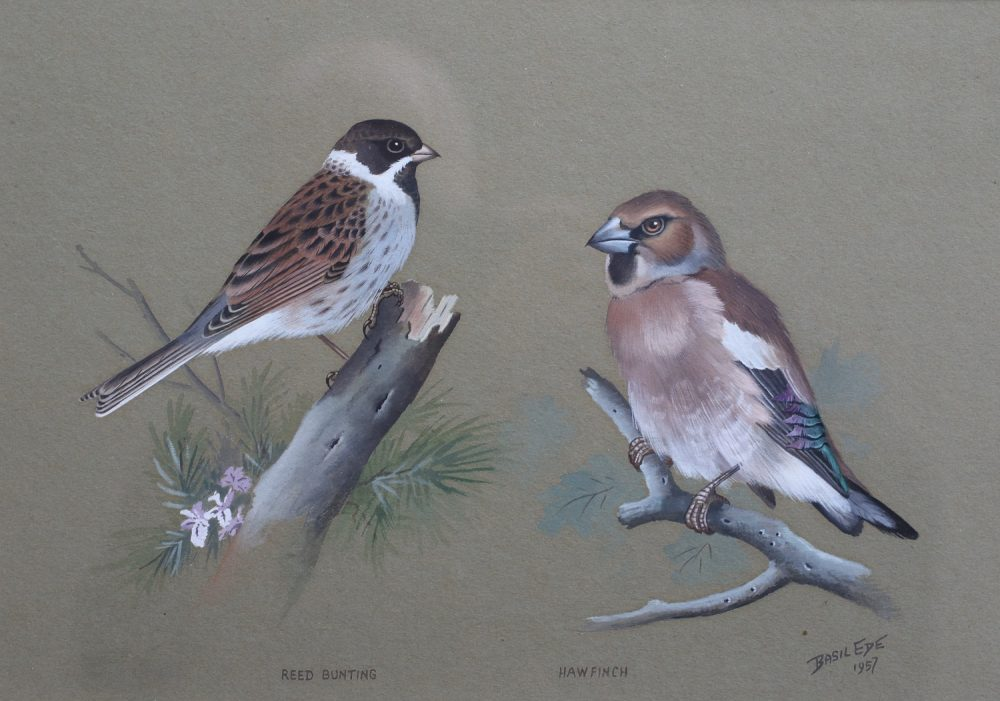 Reed Bunting and Hawfinch - Basil Ede - Watercolour