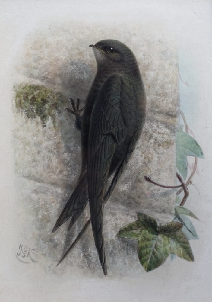 Swift - John G Keulemans - Watercolour