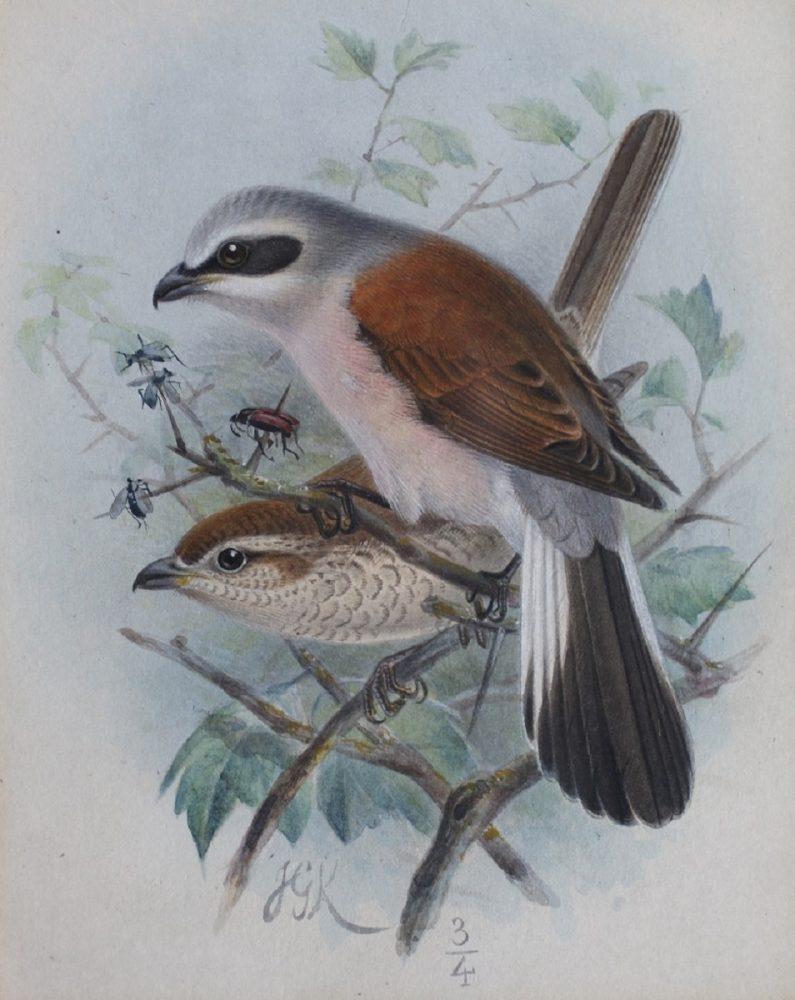 Red-backed Shrike - John G Keulemans - Watercolour