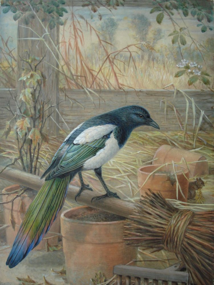 Magpie and Mouse John Gerrard Keulemans - Watercolour