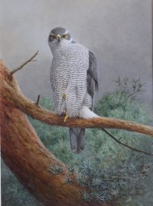 Goshawk on Watch Ron Digby