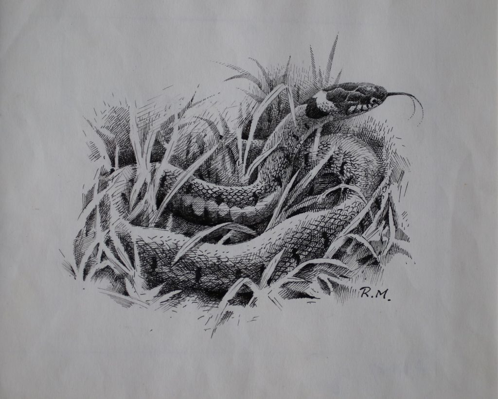 Grass Snake - Rodger McPhail - Pen and Ink