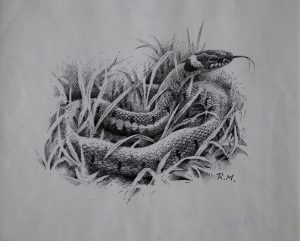 Pen and Ink Grass Snake Rodger McPhail