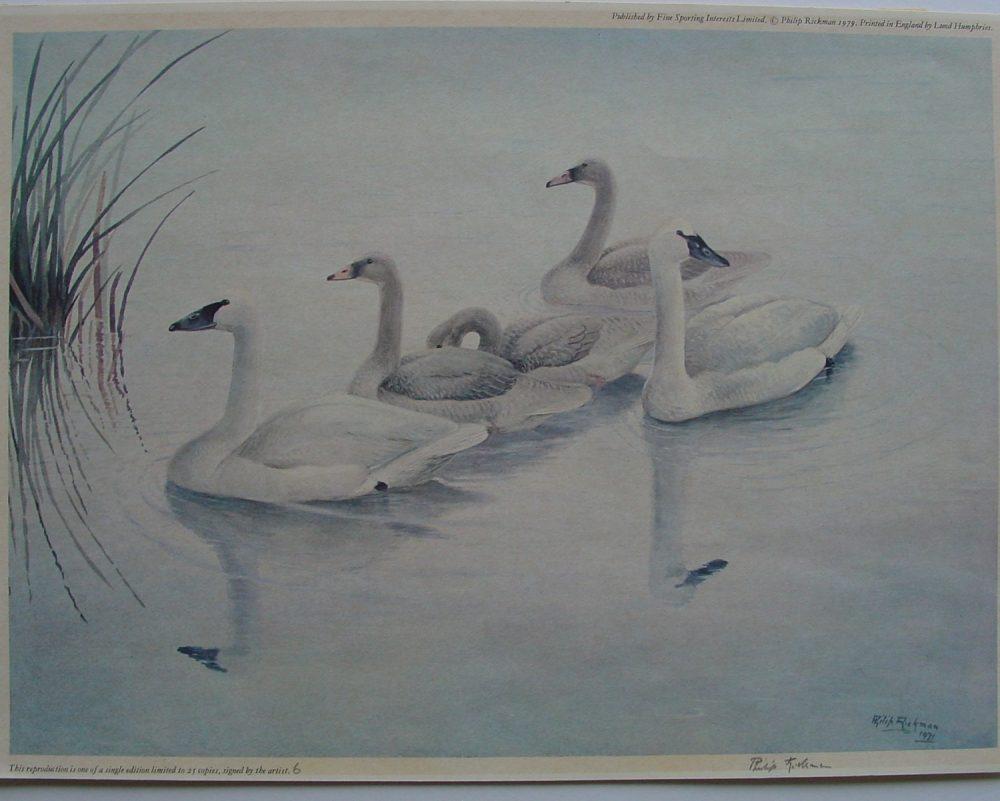 Swans - Philip Rickman - Print