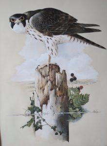 Peregrine on Stump Robert Coppillie