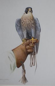 Peregrine on Glove Ron Digby