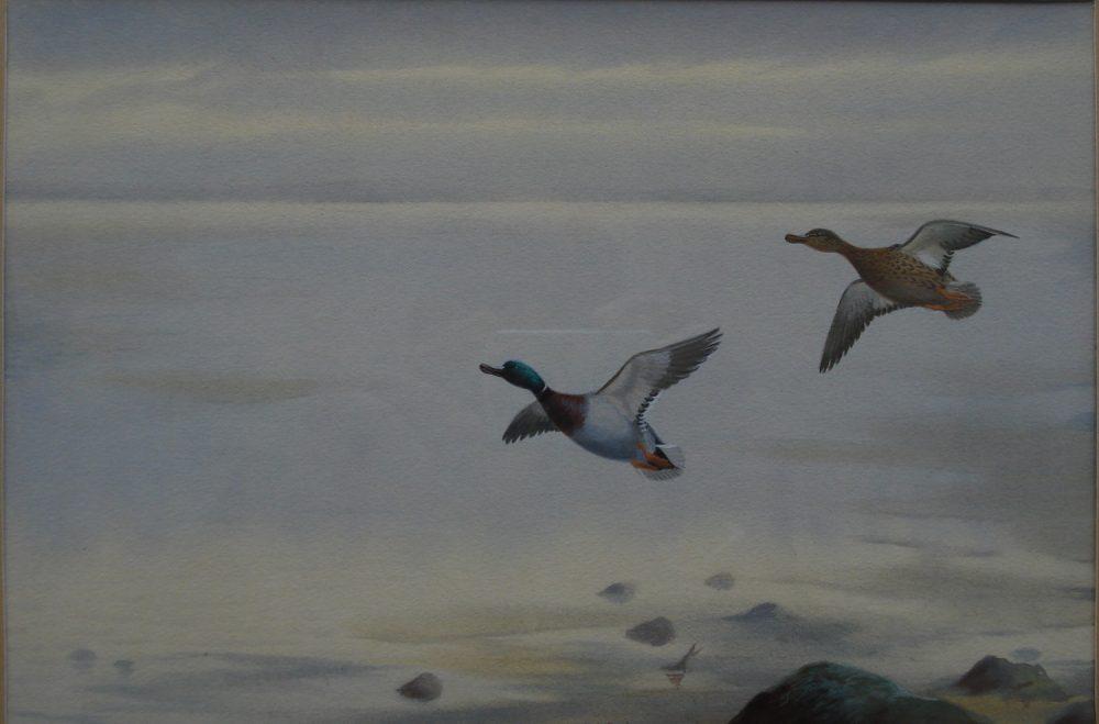 Mallard Across Marsh - P Rickman -Watercolour