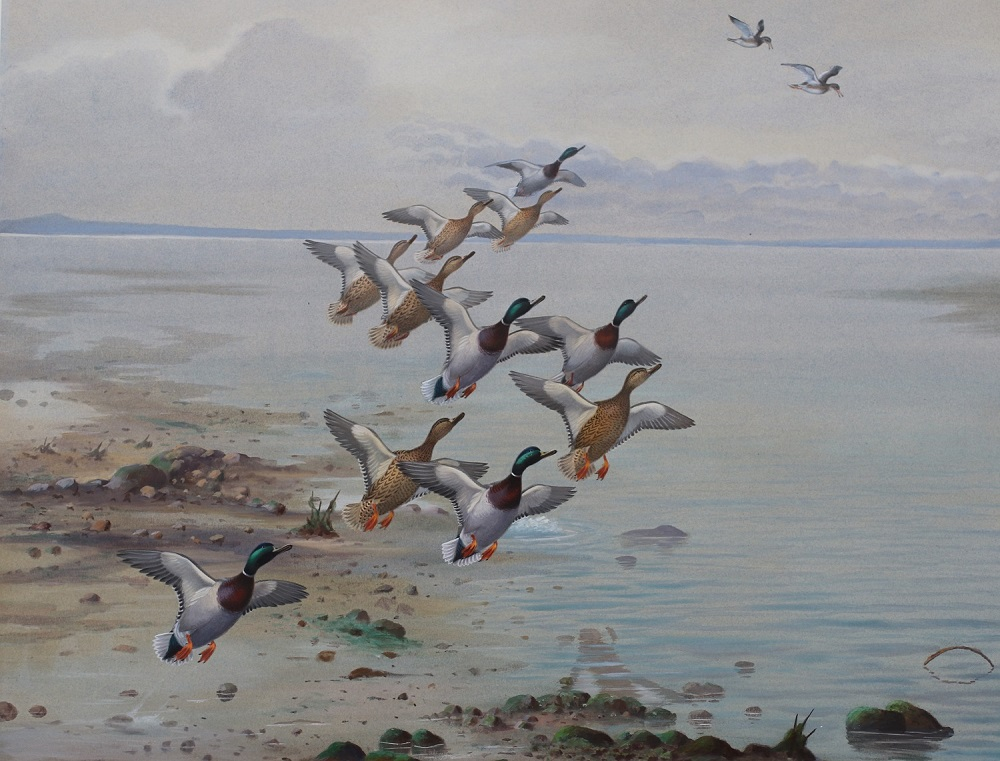 Redshank Alarming Mallards by Philip Rickman