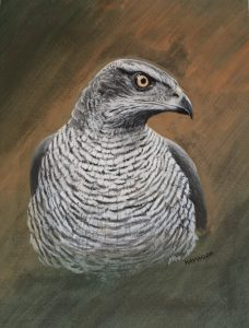 Goshawk John Haywood Art