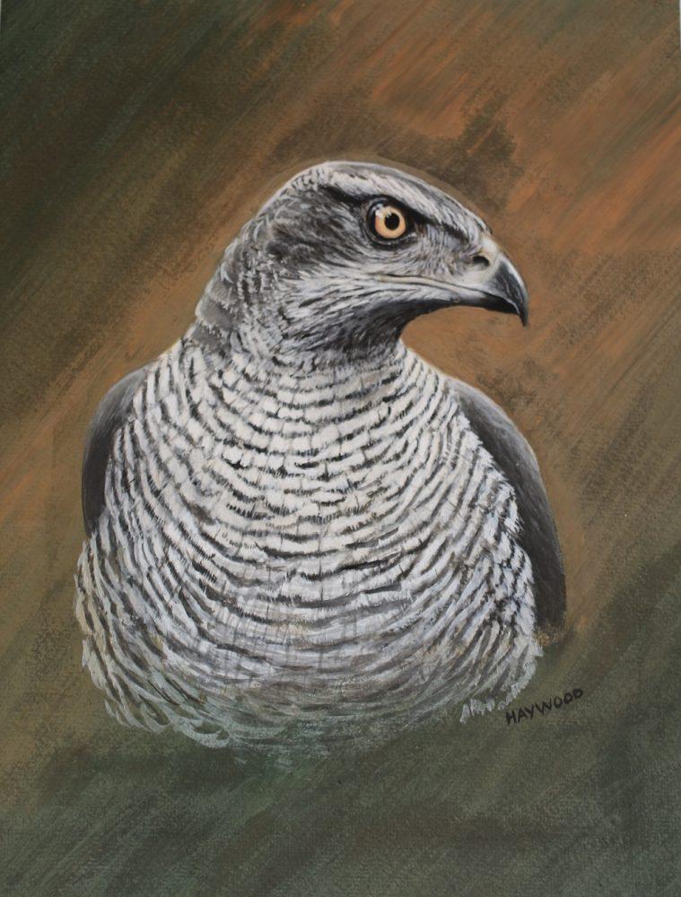 Goshawk John Haywood Art Watercolour