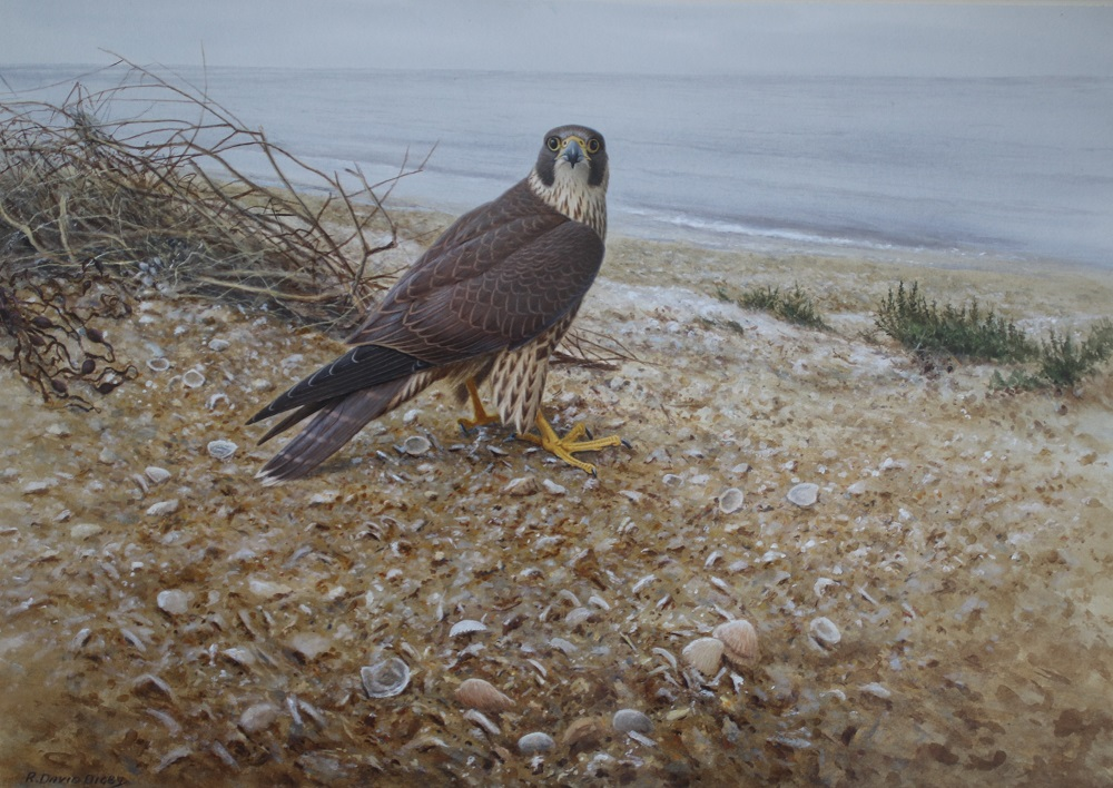 Merlin Resting Ron Digby - Watercolour