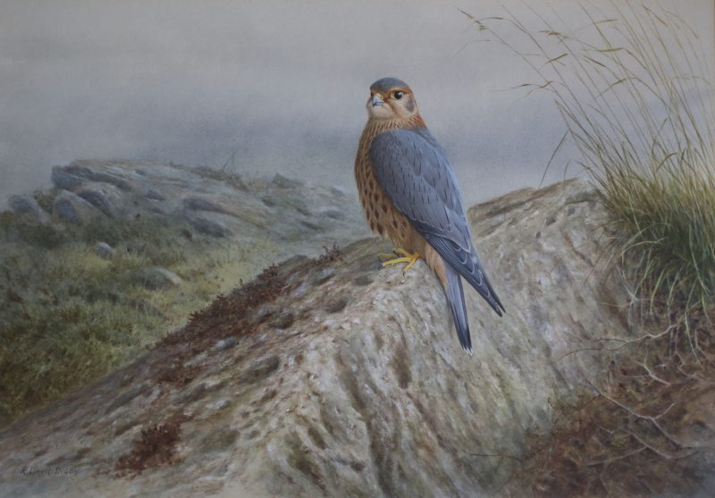 Merlin on a Rock Ron Digby - Watercolour