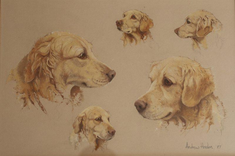 Golden Labrador by Andrew Haslen