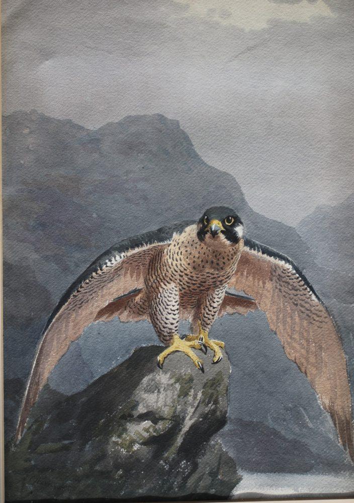 Peregrine on a Coastal Rock - John C Harrison Watercolour