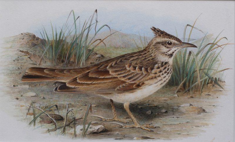 Skylark (sold as pair) - Henrik Gronvold - watercolour