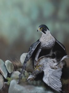 Peregrine with Ptarmigan Keith Pullen - Watercolour