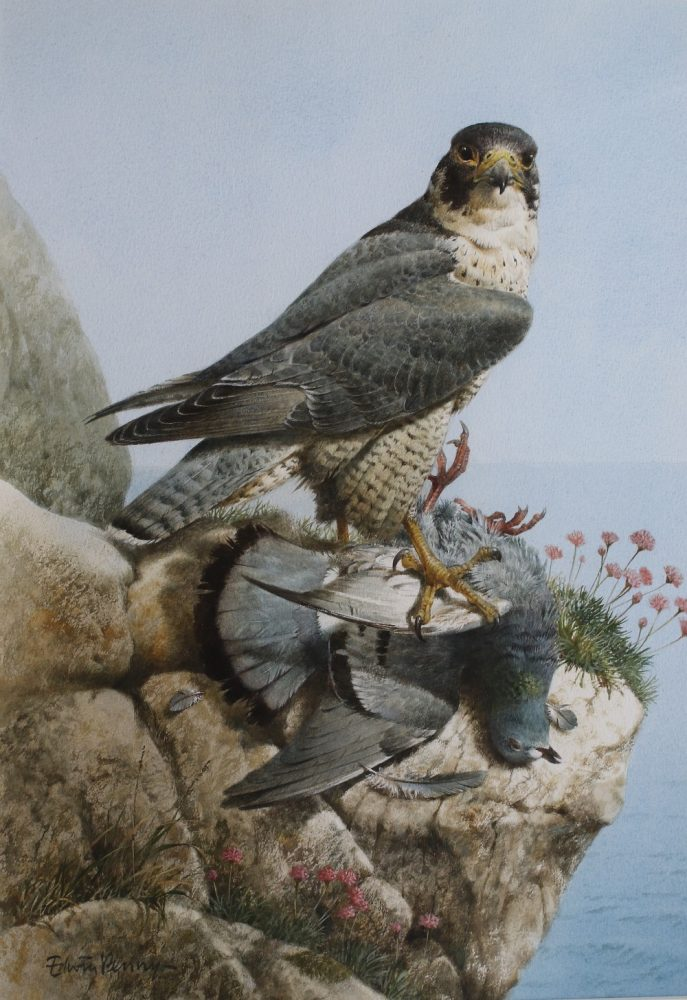Peregrine with Rock Dove Edwin Penny - Watercolour
