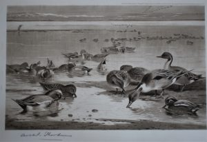 Pintails and Widgeon Print by Archbald Thorburn