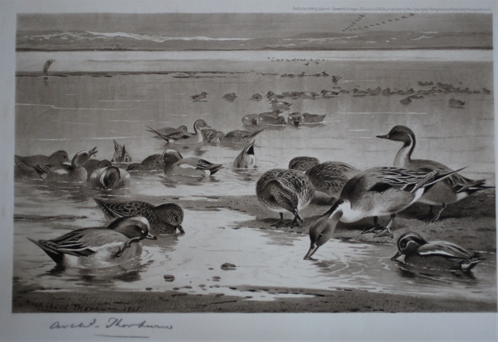 Pintails and Widgeon - Print