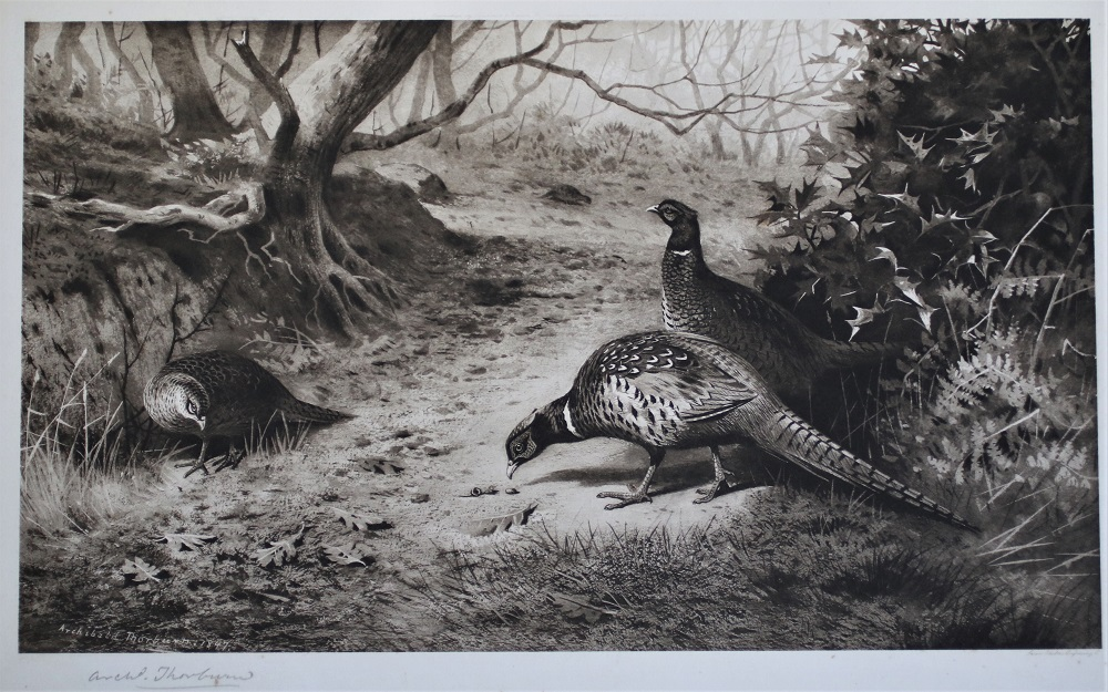 Pheasants - Archibald Thorburn - Signed Print