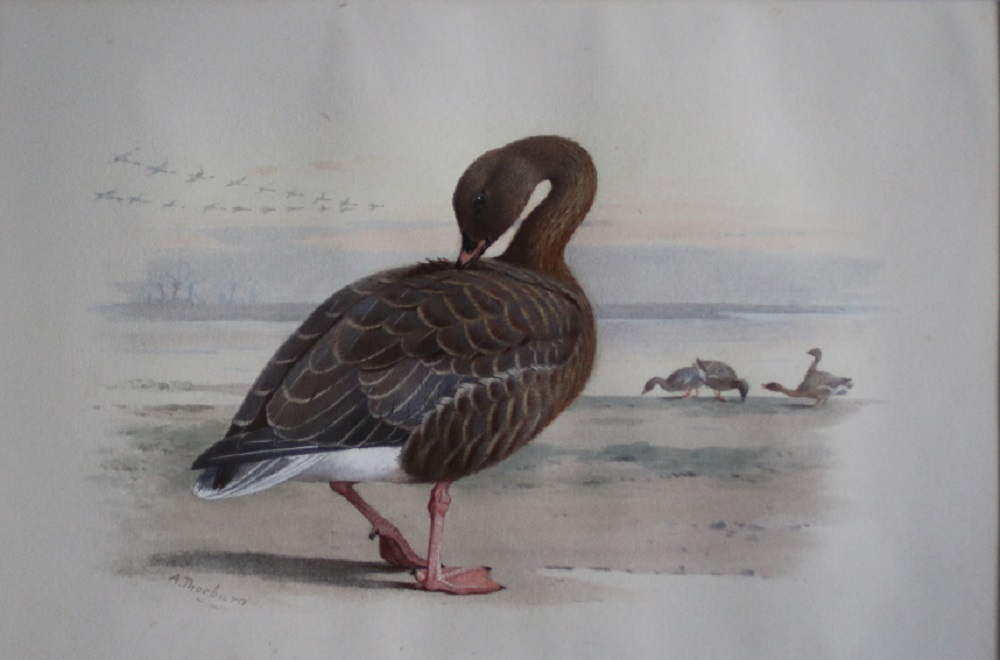 Pink Footed Geese – Archibald Thorburn watercolour