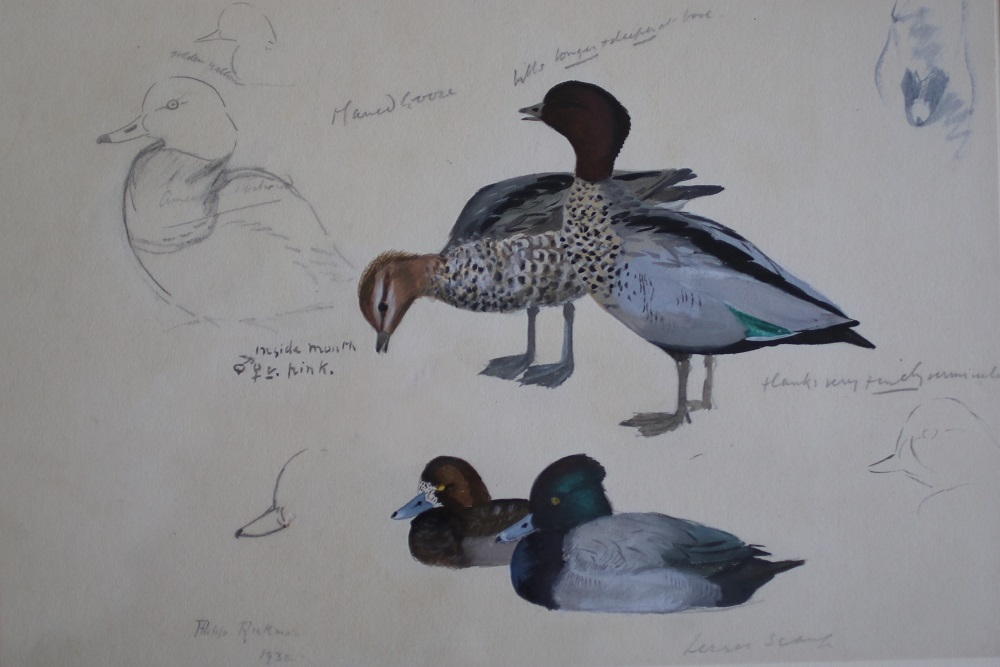 Studies of Lesser Scaup and Maned Goose - Philip Rickman - watercolour