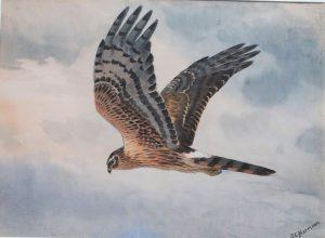 Montague Harrier - JC Harrison