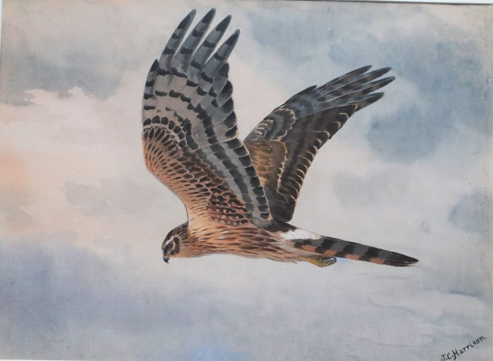 Montague Harrier - J C Harrison - Watercolour