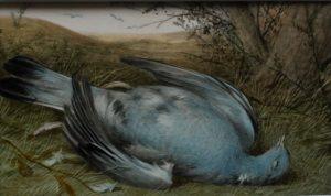 Dead Wood Pigeon - William Cruickshank watercolour