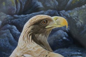Sea Eagle Head Study