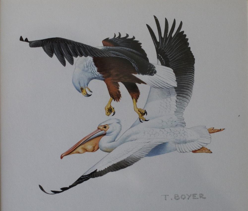 Bald Eagle Attacking Pelican - Trevor Boyer - Acrylic