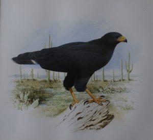 Common Black Hawk (bird of prey)