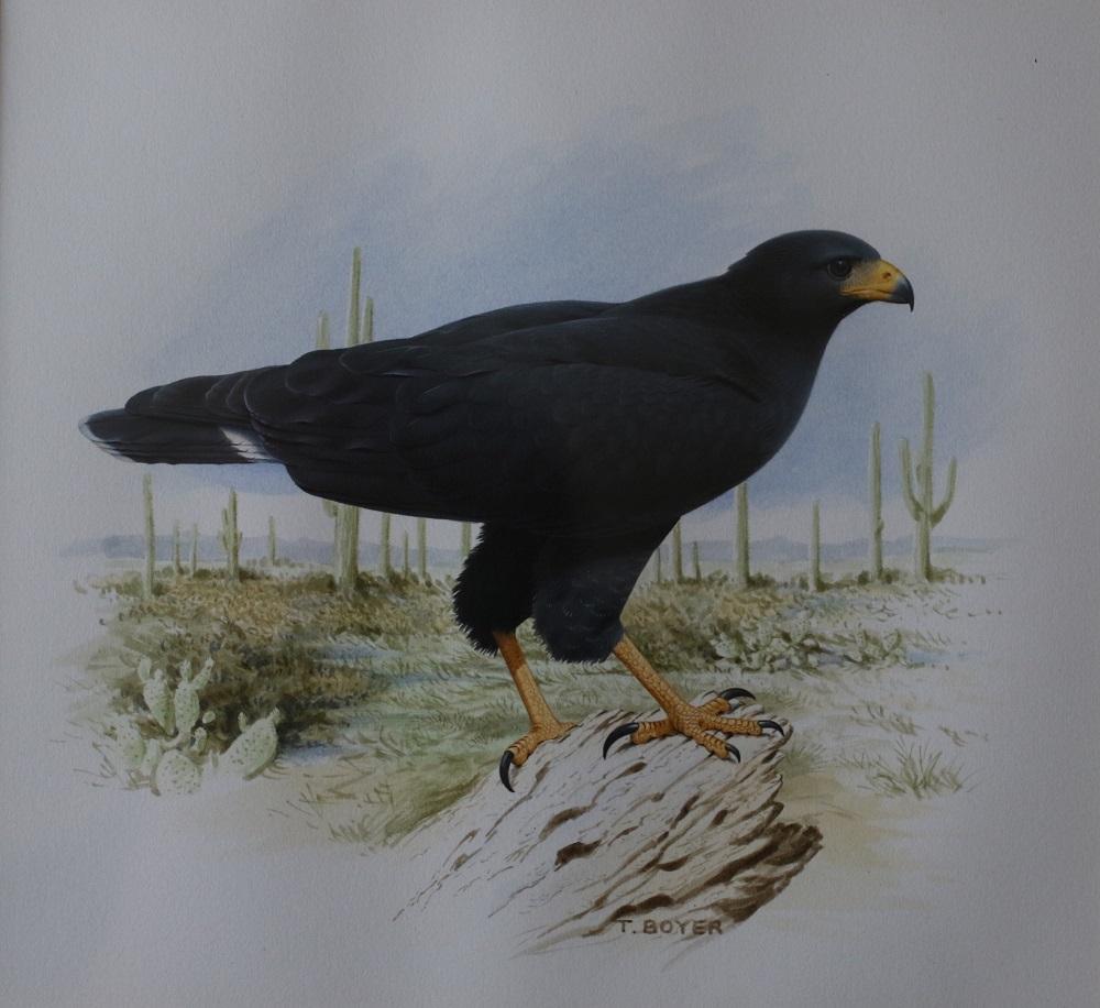 Common Black Hawk - Trevor Boyer