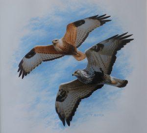 Long-legged And Rough-legged Buzzards - Trevor Boyer - Acrylic