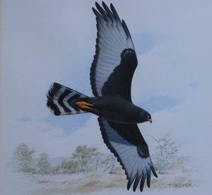 Black Harrier flying
