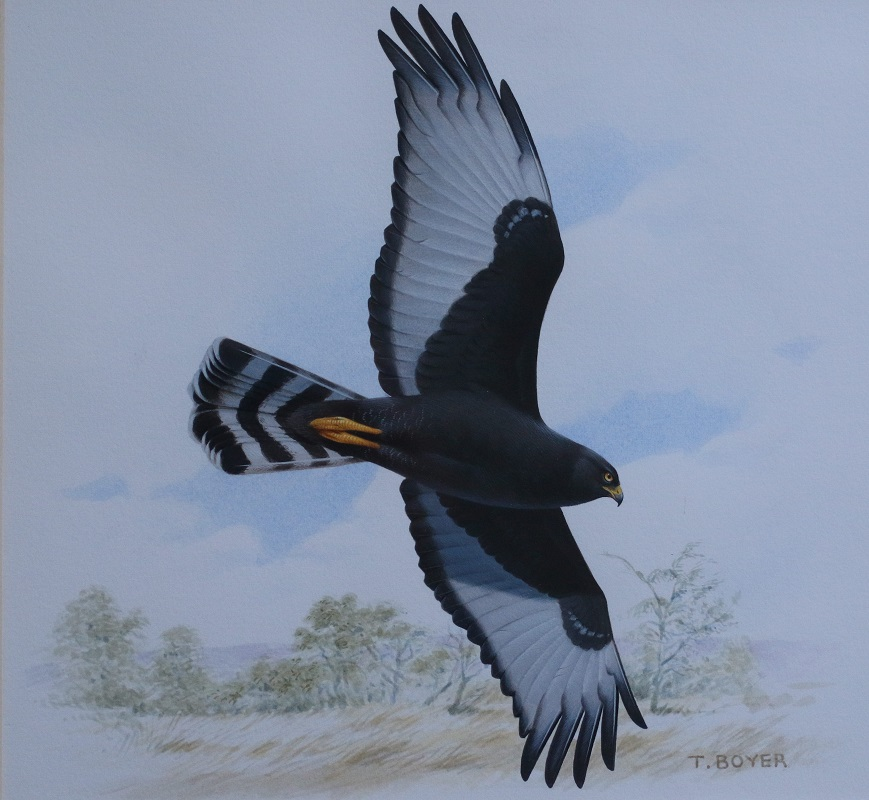 Black Harrier - Trevor Boyer - Acrylic