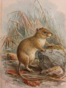 Bushy Tailed Rodent - John G Keulemans