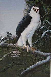 Black & White Hawk Eagle - Trevor Boyer