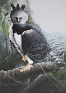 Harpy Eagle - Trevor Boyer