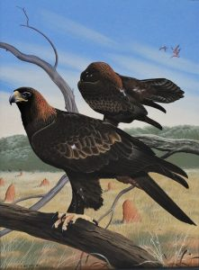 Wedge Tailed Eagle - Trevor Boyer